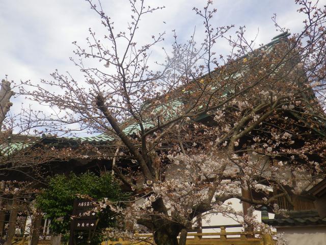 12)   18.03.24 鎌倉「光明寺」の桜が開花