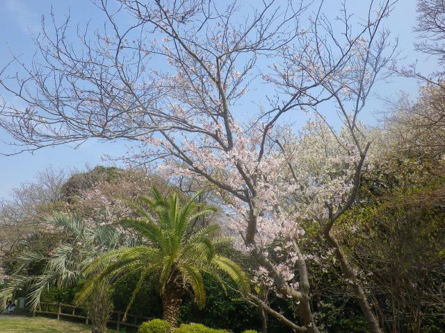 03)   18.03.27 逗子「披露山公園」の桜