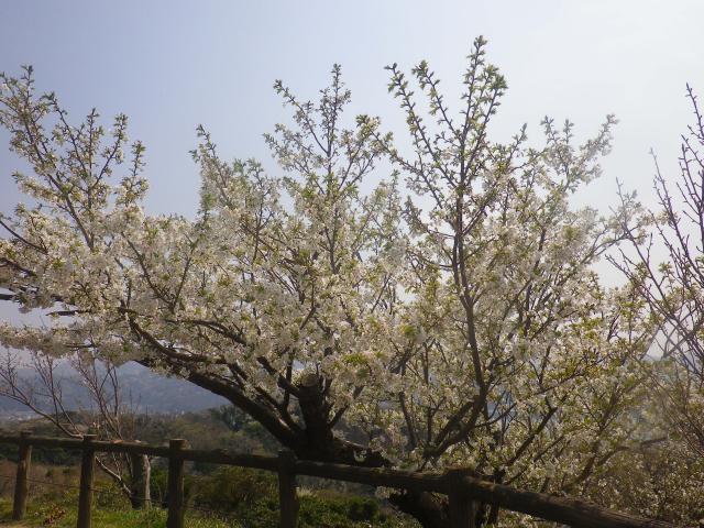 08)   18.03.27 逗子「披露山公園」の桜