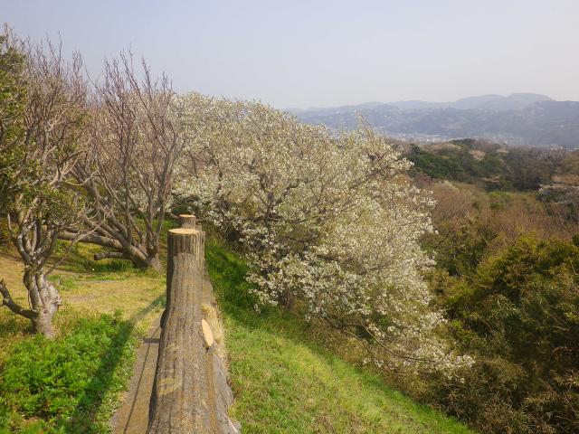 11)   18.03.27 逗子「披露山公園」の桜