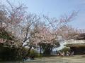 04)   18.03.27 逗子「披露山公園」の桜
