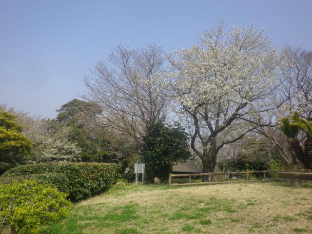 02-1)    18.03.27 逗子「大崎公園」の桜」」