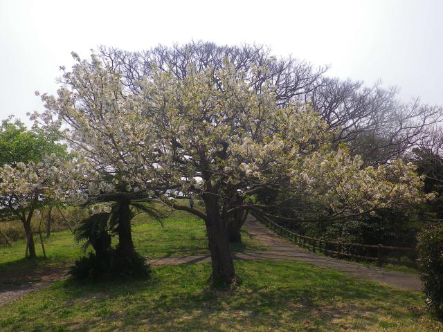 07)    18.03.27 逗子「大崎公園」の桜」」