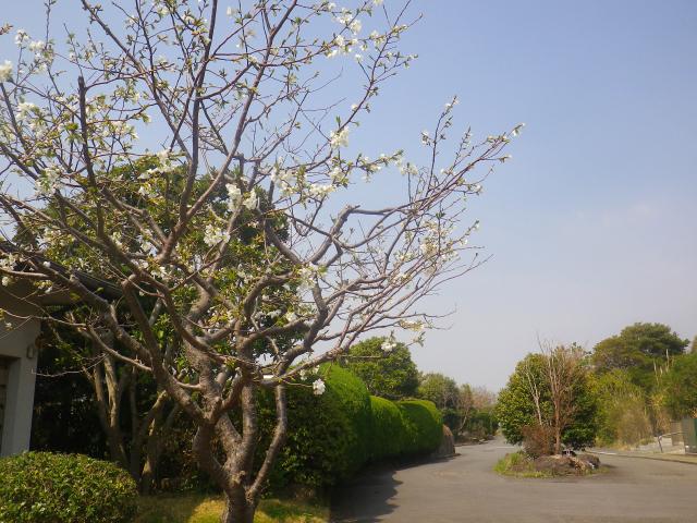 02)    18.03.27 逗子「披露山庭園住宅」の桜