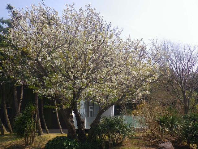 04)    18.03.27 逗子「披露山庭園住宅」の桜