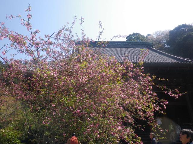 09-1) 海棠    18.03.28 鎌倉「妙本寺」の桜