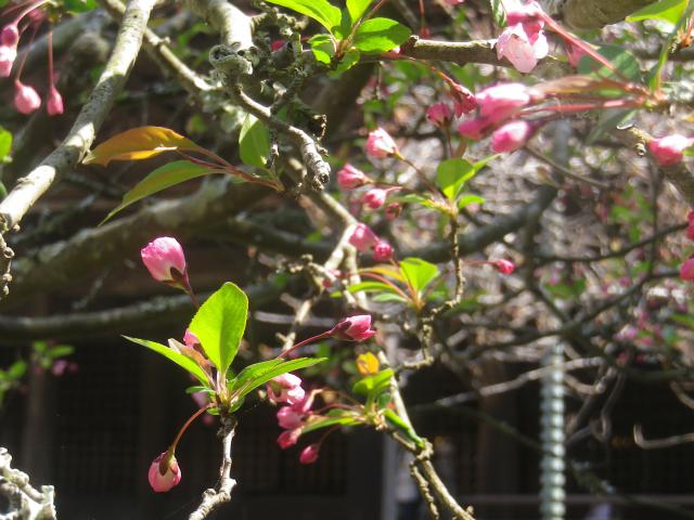 10-2) 海棠    18.03.28 鎌倉「妙本寺」の桜