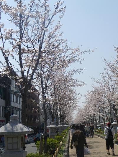 01)    18.03.28 鎌倉「鶴岡八幡宮」満開の桜