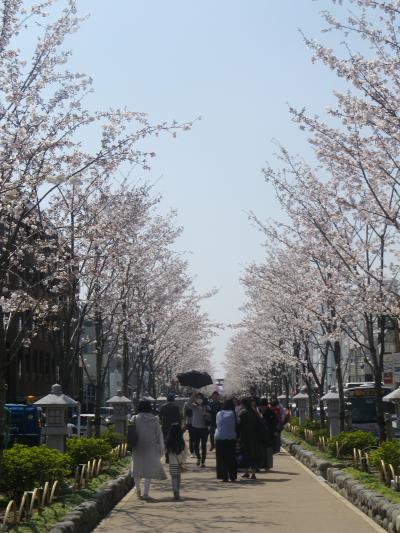 02)   18.03.28 鎌倉「鶴岡八幡宮」満開の桜