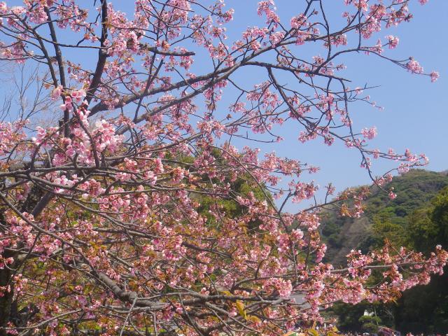 05)   18.03.28 鎌倉「鶴岡八幡宮」満開の桜