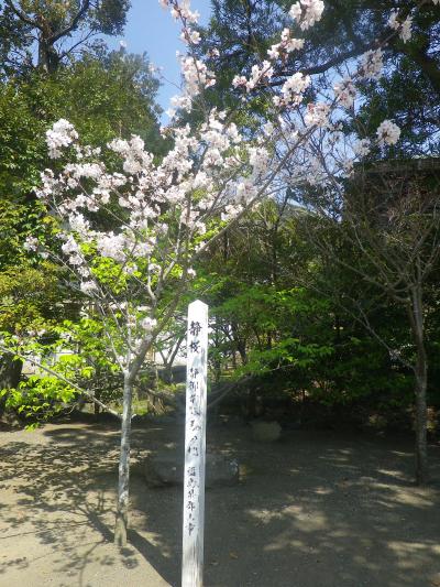17-1)   18.03.28 鎌倉「鶴岡八幡宮」満開の桜