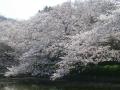 15)   18.03.28 鎌倉「鶴岡八幡宮」満開の桜