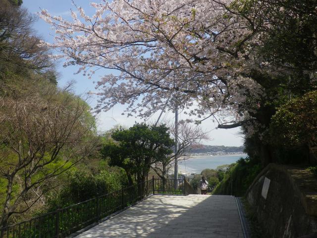 04-2)  山門前の桜を、海方向に見る。  18.03.30 鎌倉「成就院」桜が咲く頃