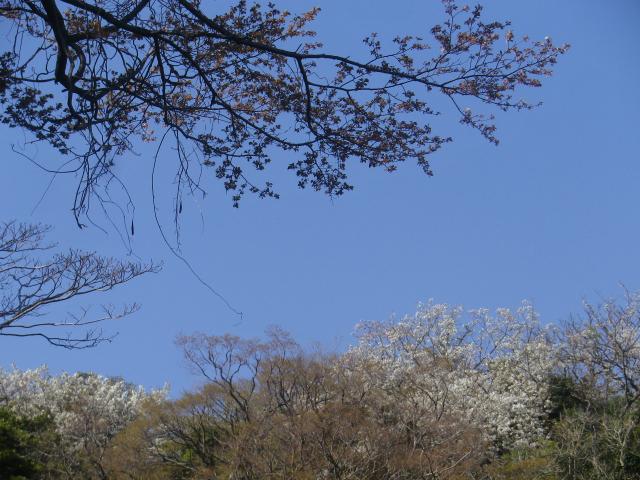 01-1)  三組一式の左   18.03.30 天照山裏側谷戸の山桜