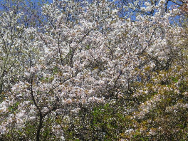 03-2) 三組一式の右ズームアップ    18.03.30 天照山裏側谷戸の山桜
