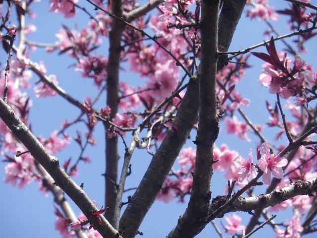 03-4)   18.03.30 鎌倉「光則寺」参道の桜と境内の天然記念物 花海棠が咲いたヨ