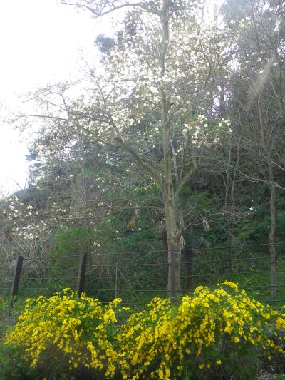 04-1)   18.03.30 鎌倉「光則寺」参道の桜と境内の天然記念物 花海棠が咲いたヨ