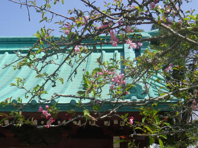06-2)   18.03.30 鎌倉「光則寺」参道の桜と境内の天然記念物 花海棠が咲いたヨ