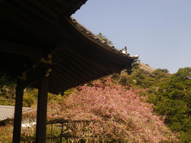 07-10)   18.03.30 鎌倉「光則寺」参道の桜と境内の天然記念物 花海棠が咲いたヨ