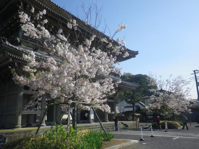 01-1)    18.03.30 鎌倉「光明寺」満開の桜