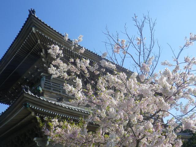 01-2)   18.03.30 鎌倉「光明寺」満開の桜