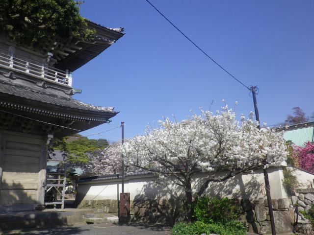 04-1)   18.03.30 鎌倉「光明寺」満開の桜