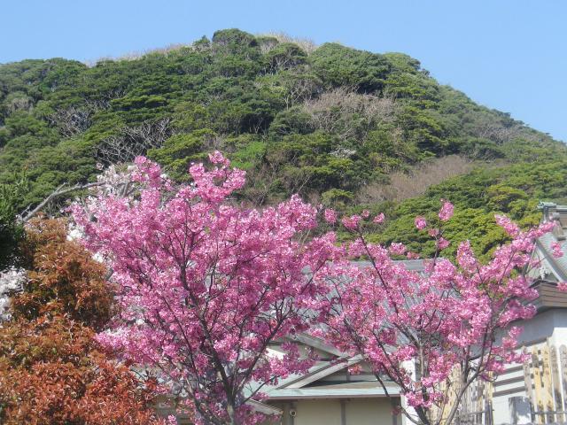 05-2)   18.03.30 鎌倉「光明寺」満開の桜