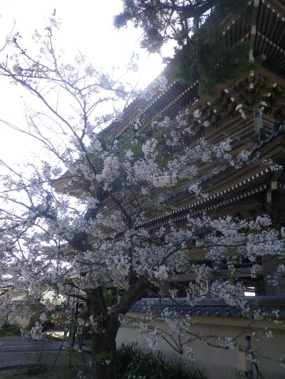 09-1)   18.03.30 鎌倉「光明寺」満開の桜
