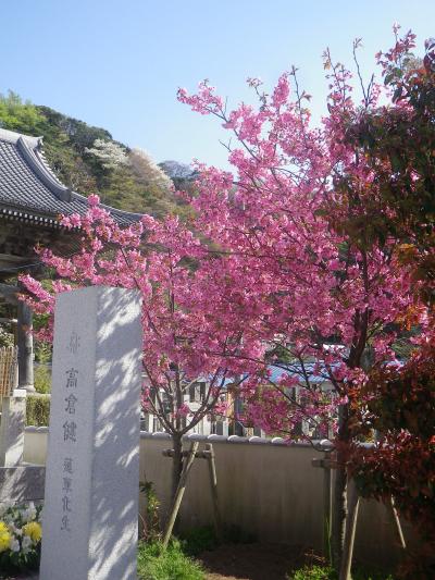 10)   18.03.30 鎌倉「光明寺」満開の桜