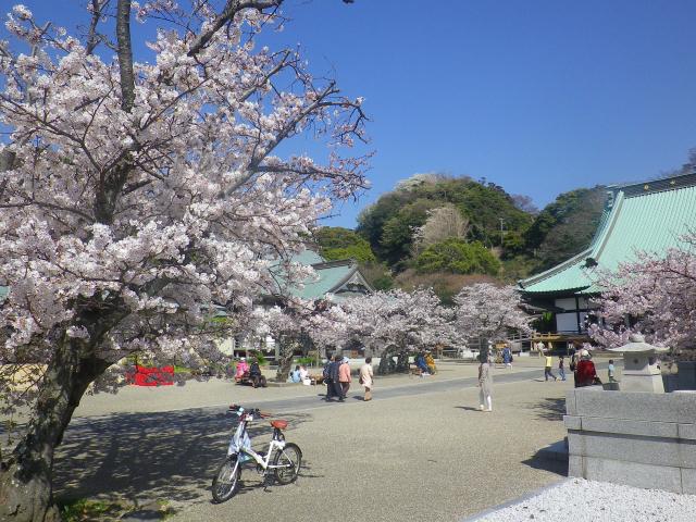 16)   18.03.30 鎌倉「光明寺」満開の桜