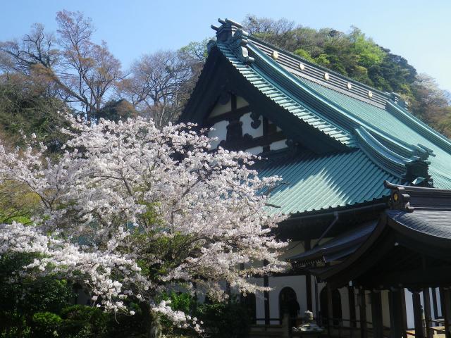 23)   18.03.30 鎌倉「光明寺」満開の桜