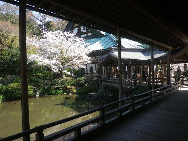 24)   18.03.30 鎌倉「光明寺」満開の桜