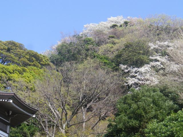 26--2)   18.03.30 鎌倉「光明寺」満開の桜