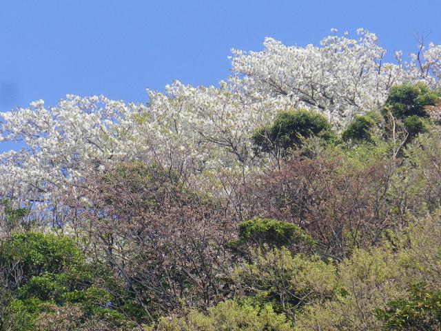26-3)   18.03.30 鎌倉「光明寺」満開の桜