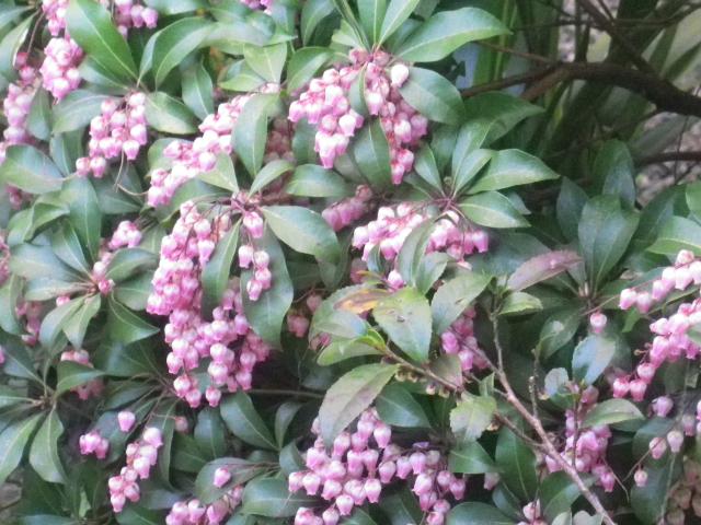 28-2)   18.03.30 鎌倉「光明寺」満開の桜