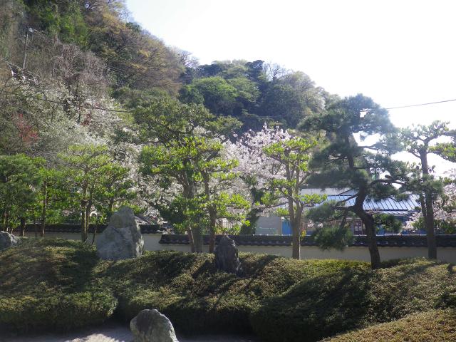 29-1)   18.03.30 鎌倉「光明寺」満開の桜