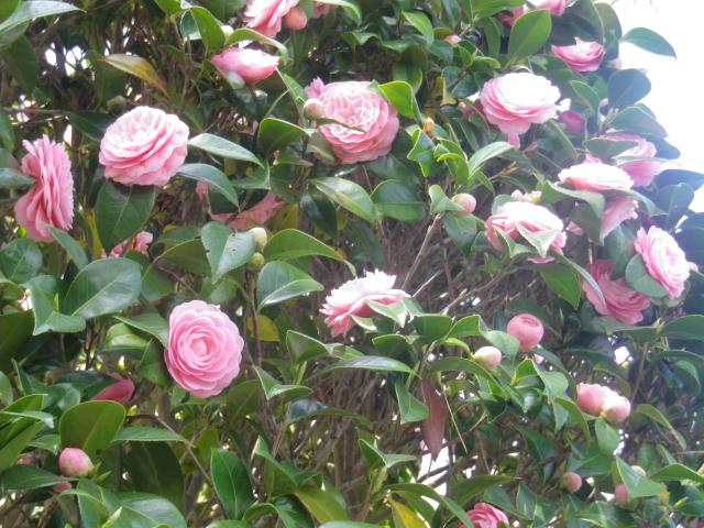 04-2)      18.03.30 鎌倉「星井寺」 ' 虚空蔵堂 ' 周辺の桜