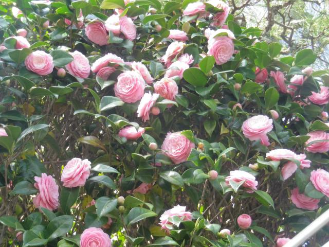 04-3)      18.03.30 鎌倉「星井寺」 ' 虚空蔵堂 ' 周辺の桜