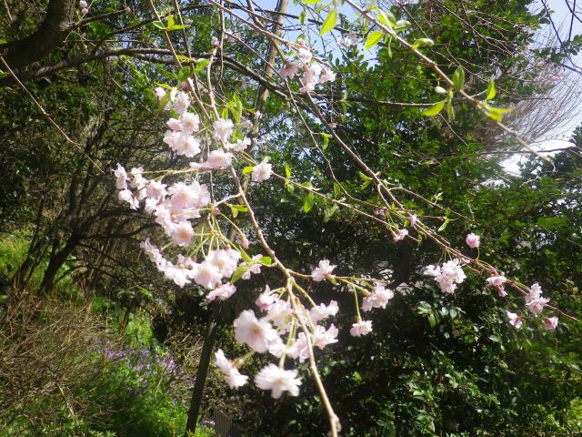 02-3)    18.03.30 鎌倉「甘縄神明宮」の桜