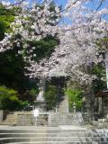 01-1)    18.03.30 鎌倉「甘縄神明宮」の桜