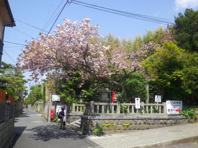 01)    18.04.13 鎌倉 大町「八雲神社」の八重桜