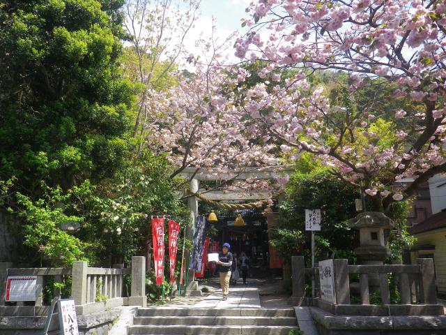 02)    18.04.13 鎌倉 大町「八雲神社」の八重桜