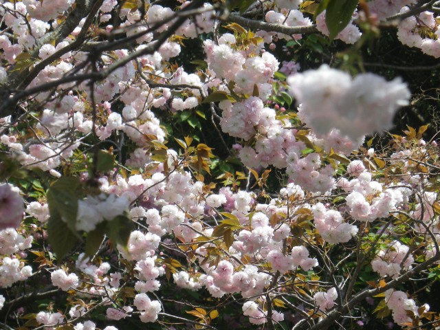 03)    18.04.13 鎌倉 大町「八雲神社」の八重桜
