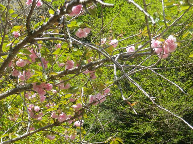 05-2)    18.04.13 鎌倉「妙本寺」満を持して! 御衣黄を観るだけの目的で寄ったら・・・ ・・・