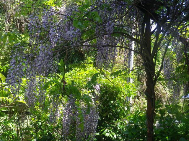 01)    18.04.19 某大豪邸の大庭園に咲く藤の花