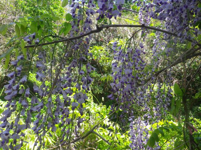 02)    18.04.19 某大豪邸の大庭園に咲く藤の花