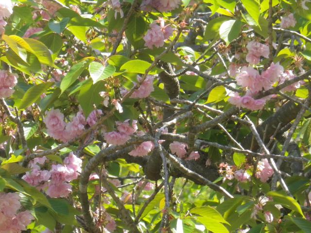 02-2)   八重桜を撮ったつもり  18.04.19 鎌倉「妙法寺」通用門周辺のツツジ