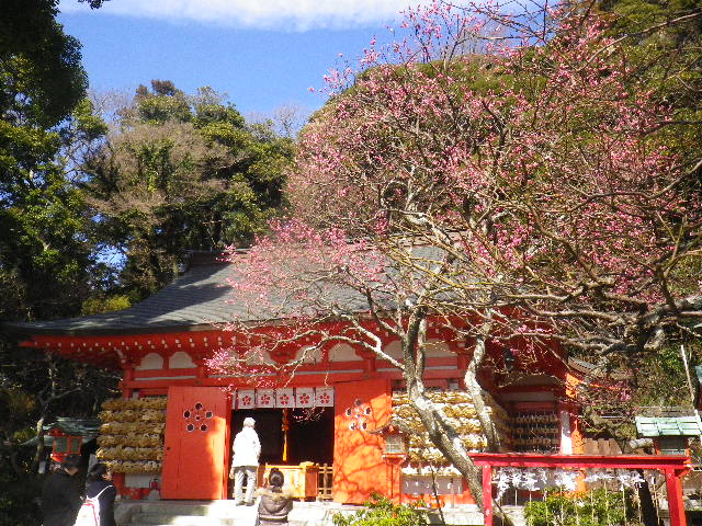 02-2-01) 社殿に向かって右、桃色の梅。 _   15.02.16 鎌倉「荏柄天神社」梅の頃