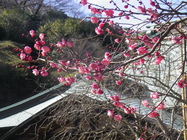 07-3) 果たしてコレは梅かぁ? 河津桜なのかぁ?