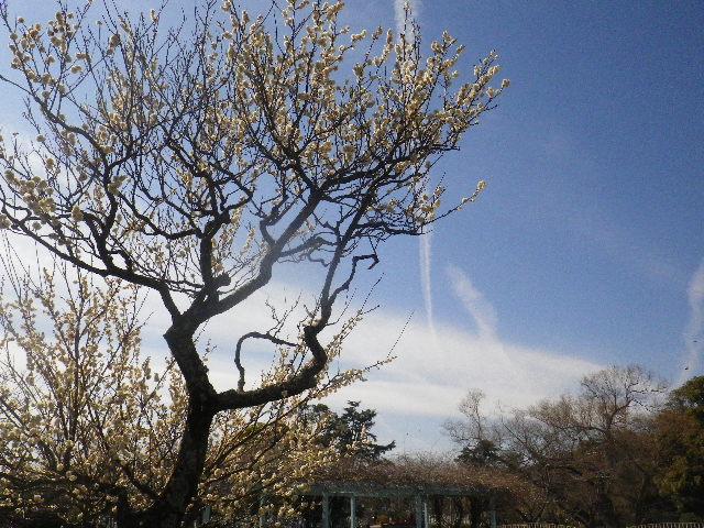 02-1)  ' 源氏池 '  周辺で一本だけ立つ梅